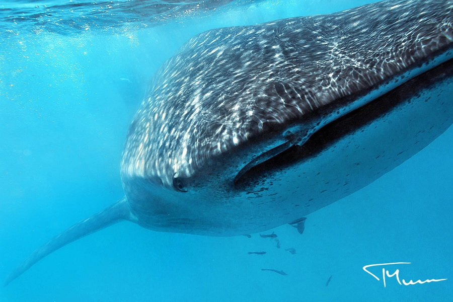 fotografia podwodna - rekin wielorybi